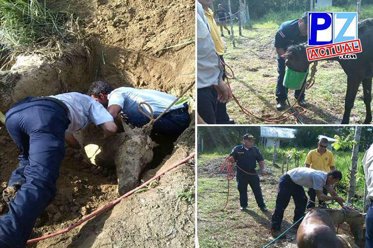 Fuerza Pública y Bomberos rescatan caballo en Puerto Jiménez