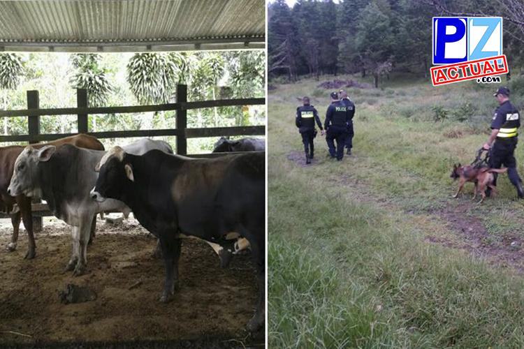 Fuerza Pública frustró robo de ganado en Buenos Aires de Puntarenas.