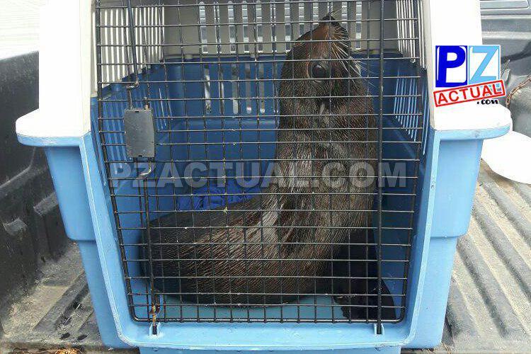 Guardacostas y SINAC rescatan y reubican  león marino que llegó a un hotel de Jacó