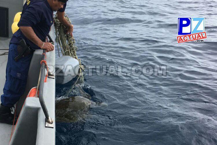 Guardacostas de Golfito salvan a tortuga lora atrapada en una línea de pesca.
