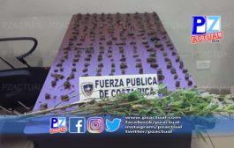 Detienen cuatro sujetos y les  decomisan plantas y más de 200 capullos de marihuana en San Isidro de El General.