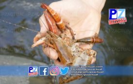 Autoridades investigan muerte masiva de camarones en el cauce del río Barú.