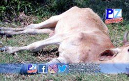 Senasa confirma cuarto brote de rabia paralítica bovina diagnóstica en el cantón de Coto Brus.